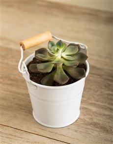 plants: Lucky Pony Serene Succulent!