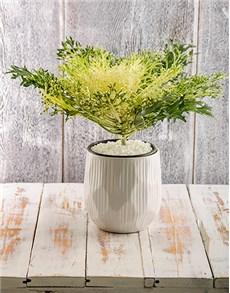 plants: White Kale Plant in White Ceramic Bowl!