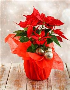 flowers: Festive Season Poinsettia!