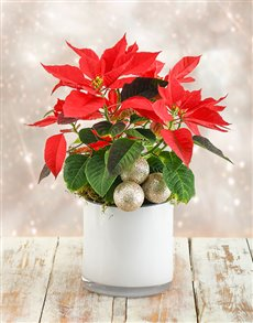 flowers: Poinsettia in White Cylinder Vase!