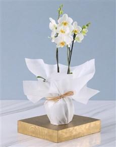 flowers: Tranquil Mini Phalaenopsis Orchid!