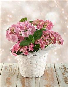 flowers: Pink Hydrangeas in White Wash Basket!
