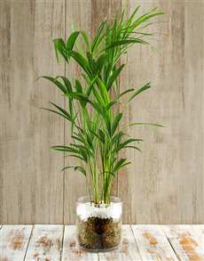 gifts: Rain Forest Delight Bamboo Plant!