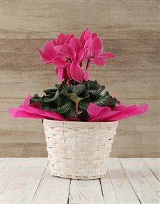 plants: Cerise Cyclamen in a Crysanth Basket!
