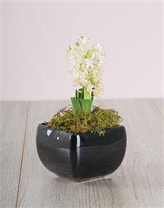 flowers: White Hyacinth in a Black Ceramic Vase!