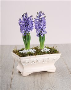 flowers: Double Blue Hyacinths in Pot!