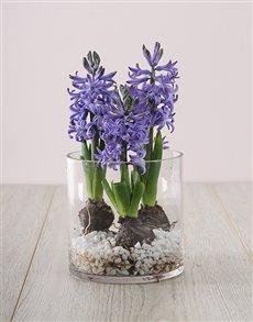 gifts: 3 Blue Hyacinths in a Cylinder Vase!