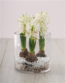 gifts: 3 White Hyacinths in a Cylinder Vase!