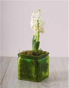 gifts: White Hyacinths in a Square Green Vase!