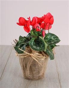 plants: Red Cyclamen in Hessian!
