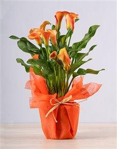 gifts: Orange Zantedeschia Plant!