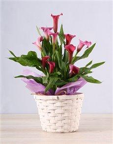 flowers: Pink Zantedeschia Basket!