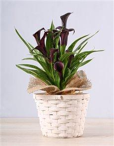 flowers: Black Zantedeschia Basket !