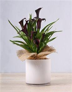 gifts: Black Zantedeschia in White Vase!