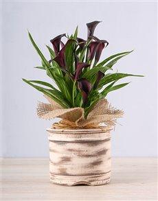 plants: Ceramic Pot with Black Zantedeschia!