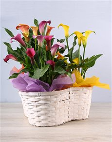 flowers: Sunset Zantedeschia Basket!