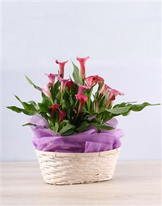 flowers: Pink Grace Zantedeschia Basket!