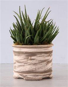 flowers: Aloe Plant in Ceramic Pot!