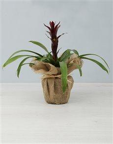 flowers: Maroon Guzmania Plant!