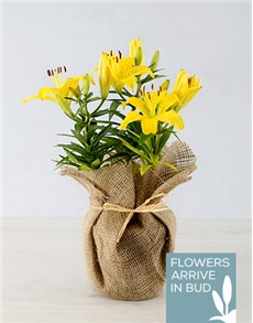 gifts: Yellow Asiatic Lily in Hessian Wrapping!