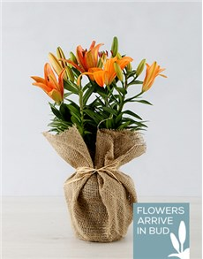 gifts: Orange Asiatic Lily in Hessian Wrapping!