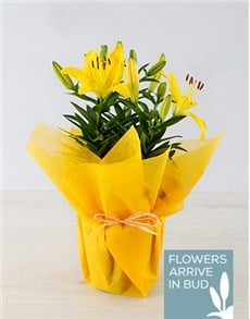 gifts: Yellow Asiatic Lily in Yellow Wrapping!