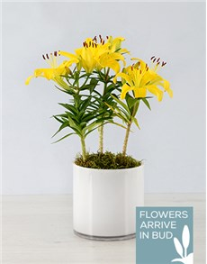 gifts: Asiatic Lily in Cylinder Vase!