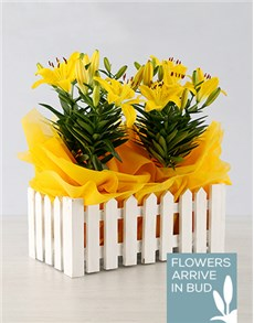 flowers: Asiatic Lily in Picket Fence!
