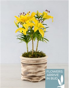 flowers: Asiatic Lily in Round Ceramic Pot!