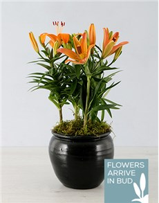 flowers: Orange Lily in Black Pottery Container!
