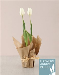 gifts: White Tulip Plant in Craft Paper!