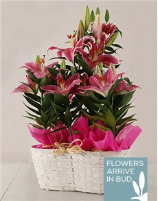 flowers: Triple Stargazer Basket!