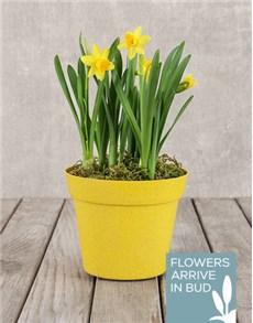 flowers: Daffodil Pot!