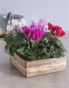 plants: Mixed Cyclamen in Wooden Crate!