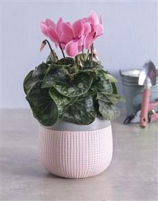 plants: Light Pink Cyclamen in Two Tone Pot!