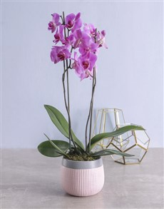 flowers:  Pink Phalaenopsis Orchid in Pot!