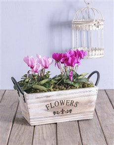 plants: Mixed Cyclamen in Wood Container!