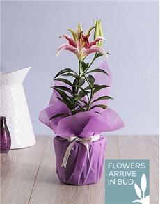 flowers: Oriental Lily Pot!