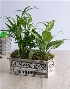 flowers: Areca Bamboo and Silver Queen in Wood Planter!