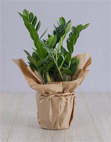 plants: Zameoculcas With Checkered Fathers Day Tag!