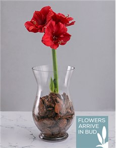 gifts: Amaryllis in Bark Chips!
