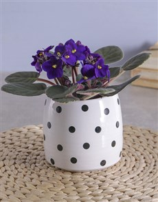 gifts: Itsy Bitsy Polka Dotted African Violet!