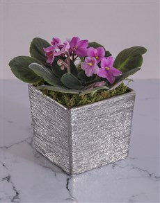 gifts: African Violet in Silver Ceramic!