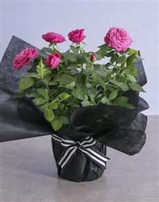 gifts: Elegant Cerise Rose Bush Wrapped In Black!