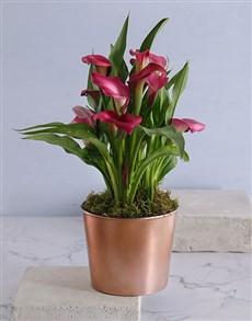 gifts: Zantedeschia in Copper Cleo Pot!