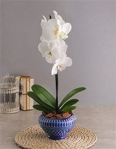 flowers: Phalaenopsis in Blue Diamond Pot!