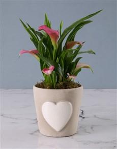 flowers: Zantedeschia in Embossed Heart Cement Pot!