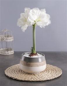 gifts: White Amaryllis Plant in Ceramic Pot!