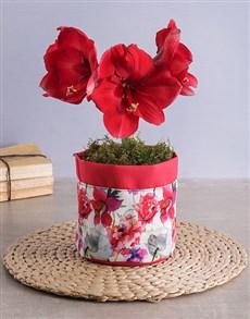 gifts: Radiant Red Amaryllis Plant!