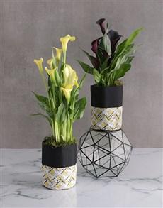 gifts: Zantedeschia in Waterproof Fabric Pot!